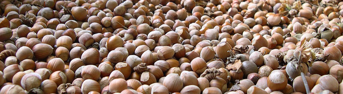 Freshly harvested hazelnuts drying.