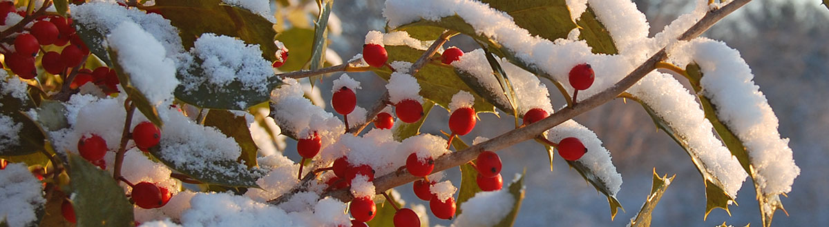 American Holly in snow.